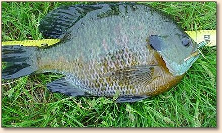 Fly fishing around central iowa for Fly fishing iowa