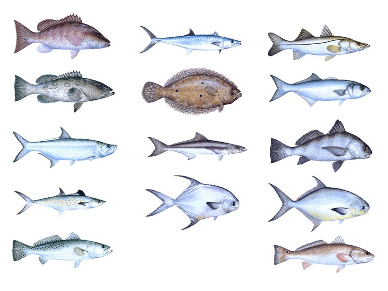 Saltwater fish of florida 17 x 22 florida salt water for Florida saltwater fishing regulations quick chart
